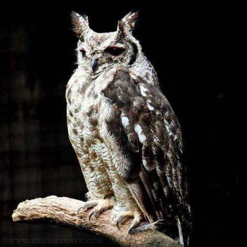 bleary eyed owl