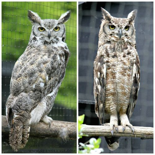 horned owls- world of owls