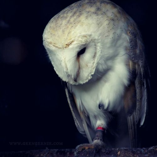 This sleepy barn owl is very fittingly called Bowie
